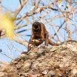 Trilobites: Monkeys Can Make Stone Tools, but They Don't Use Them