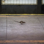 Matter: How the Brown Rat Conquered New York City (and Every Other One, Too)