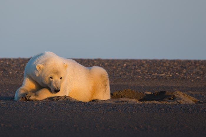 Photo of Aquecimento global: no Alasca, fotógrafa mostra a vida de ursos polares sem neve
