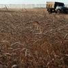 Россия заплатит 130% пошлины во время  экспорта пшеницы в Турцию