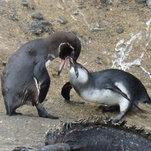 Even Penguins Have Children Who Won't Leave the Nest
