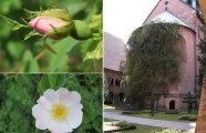 Вокруг света: Тысячелетняя роза - цветок, переживший бомбежки, пожары и разрушения
