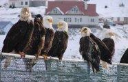 Вокруг света: Уналашка - город, где орлов больше, чем ворон