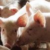 Африканская чума свиней зафиксирована в еще одном населенном пункте Омской области