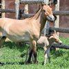 Пострадавшим от АЧС фермерам предложили разводить лошадей и кроликов