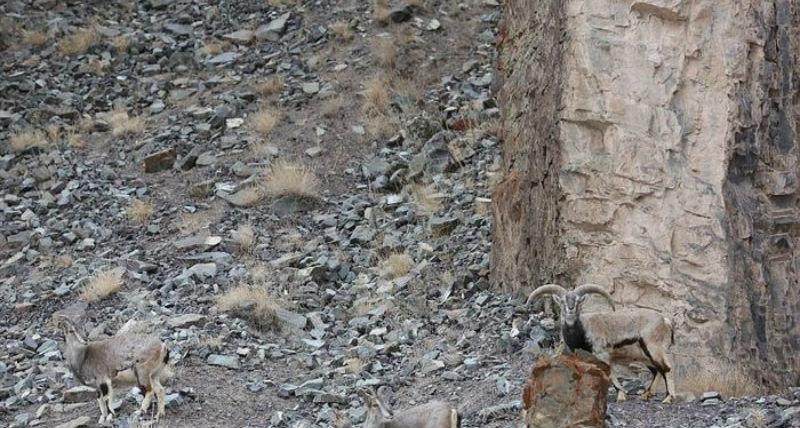 Фото Сможете найти здесь снежного барса? Баран с фотографии не заметил его и умер