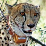 Trilobites: This Is How You Escape a Cheetah, if You're an Impala