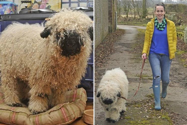 Домашний питомец: история ягненка, считающего себя собакой