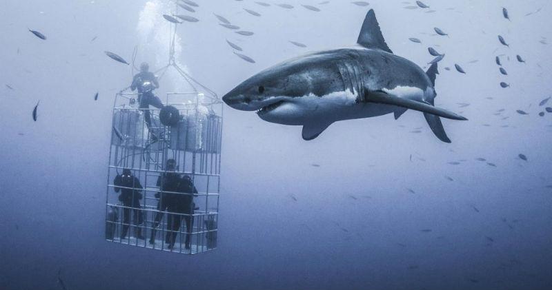 Фото Фотограф снял огромную белую акулу, которая кружит вокруг клетки с дайверами