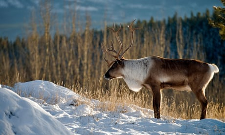 Photo of Last caribou in lower 48 US states all but extinct: 'The herd is functionally lost'