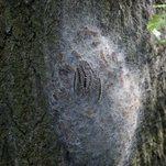 Toxic Caterpillars Invading Parts of London, Officials Warn