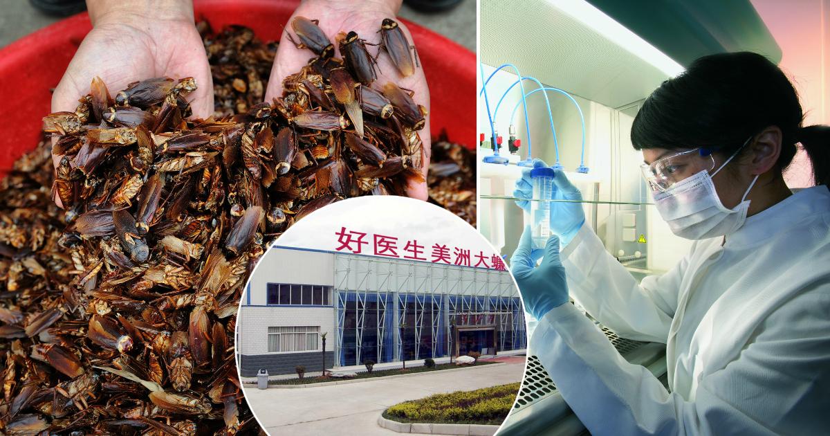 Фото Прибыльный бизнес: зачем на ферме в Китае разводят по 6 млрд тараканов в год