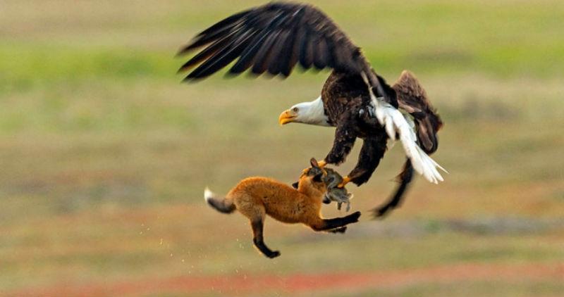Фото Зообитва года: эпичное сражение орлана и лисы за обед