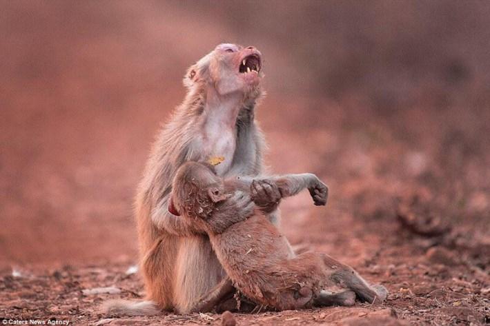 Фото Скорбь от потери сородича: съемка с робота-обезьяны