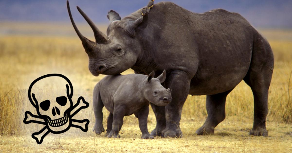 Фото Зоозащитники спасали редких носорогов, но в результате сгубили восемь животных