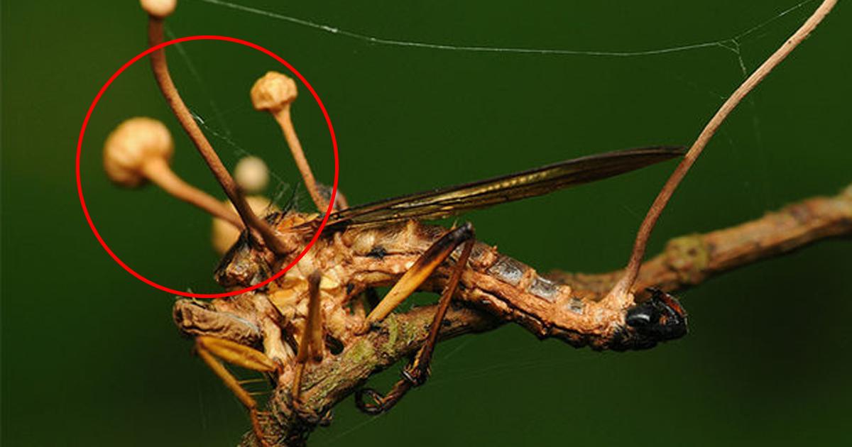 Зомби в мире насекомых: как действует уникальный гриб-паразит?