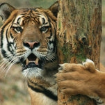 Photo of Divide and Preserve: Reclassifying Tigers to Help Save Them From Extinction