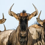 Photo of Trilobites: The Wildebeest Is One Highly Toned Machine