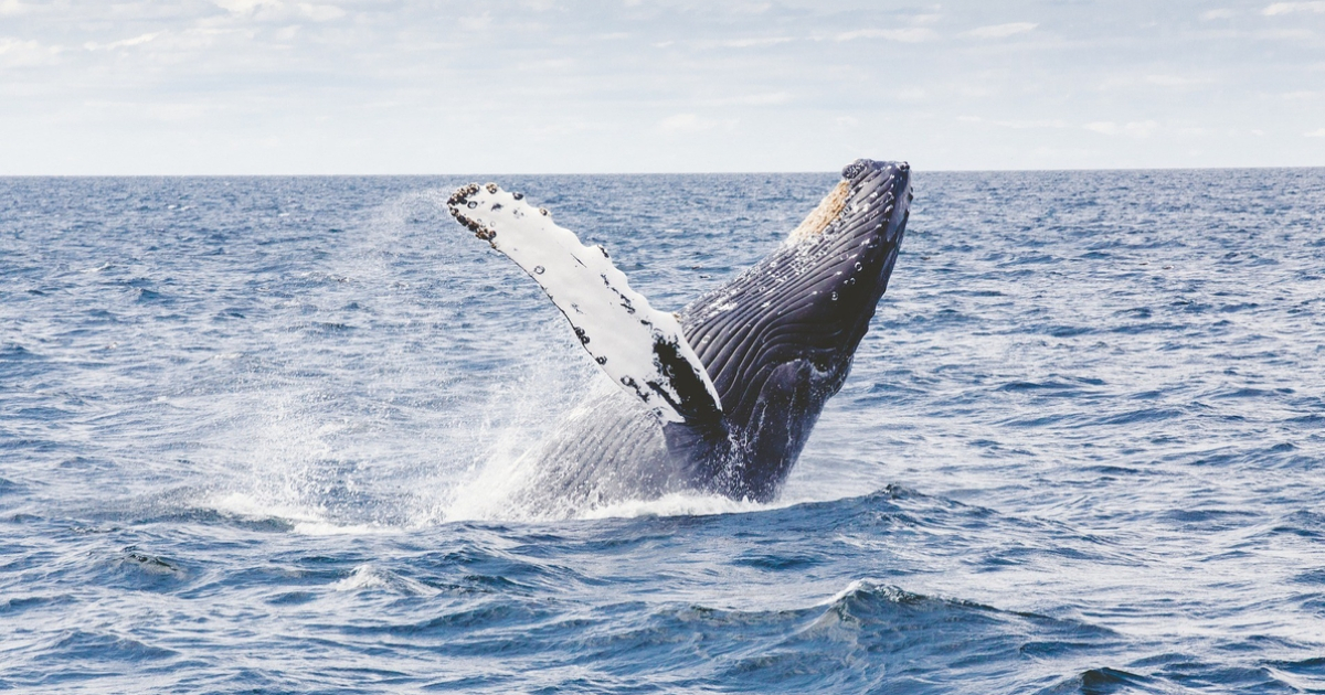 Ученые: Горбатые киты больше не поют рядом с морскими судами. Почему?