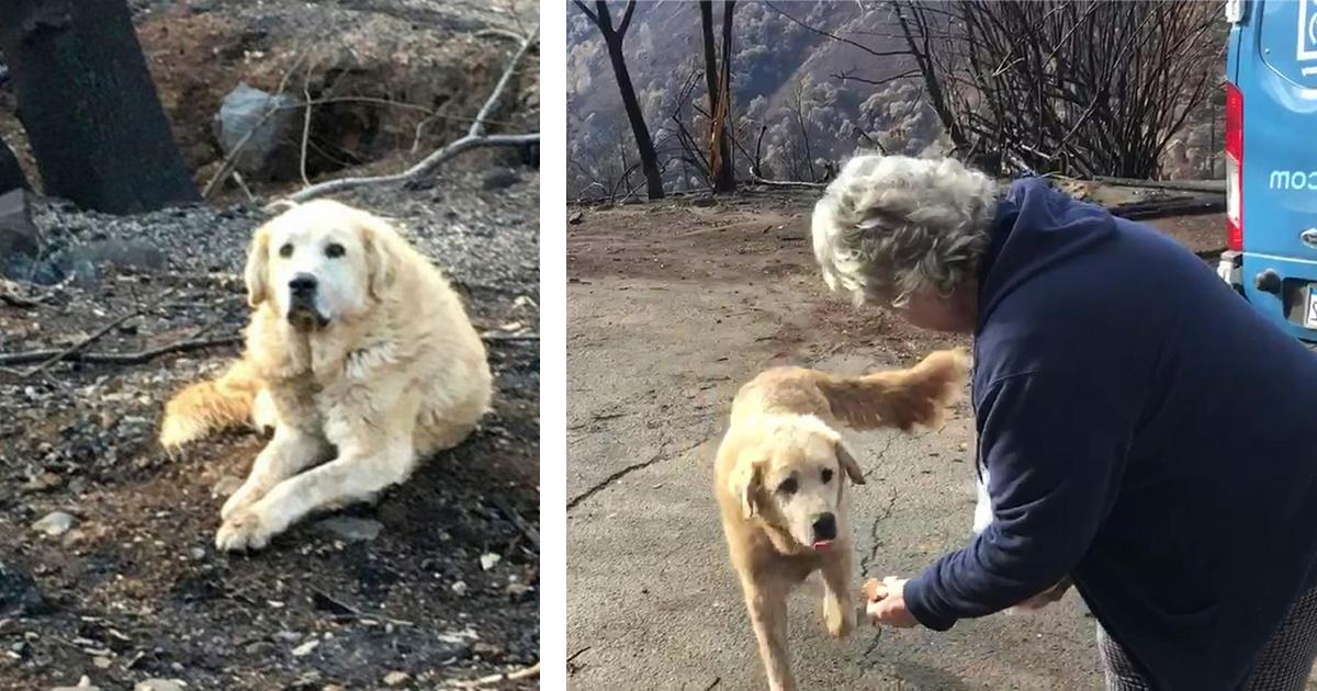 Фото Современный Хатико: лабрадор месяц прождал свою хозяйку на месте пожара