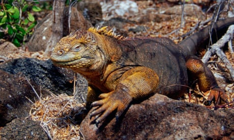 Photo of Galápagos island gets its first iguanas since Darwin after mass-release