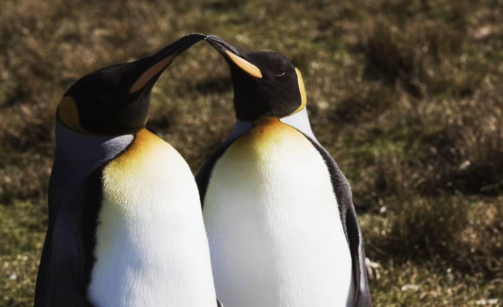 Photo of Dos pingüinos gais, los mejores padres