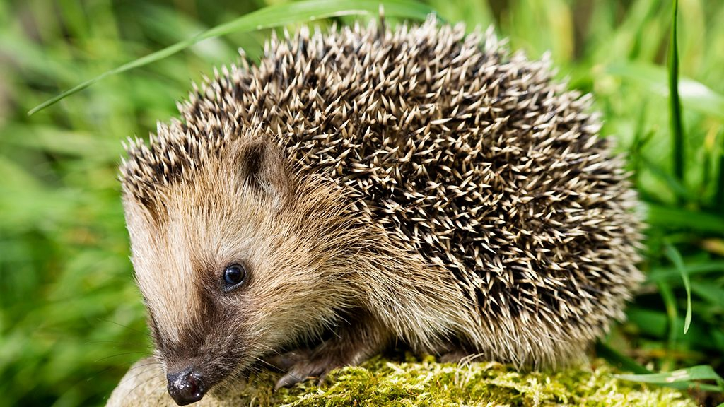 Photo of Pet hedgehogs associated with salmonella outbreak, 'don't kiss or snuggle' them, CDC warns