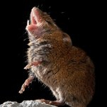 Matter: These Mice Sing to One Another — Politely