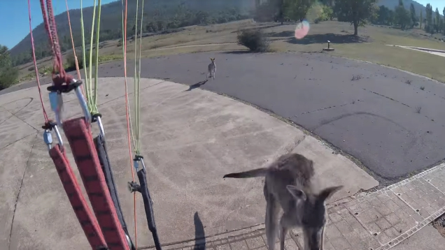 Photo of Kangaroo Congratulates Paraglider's Safe Landing With A Hearty Punch