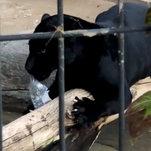 Jaguar Attacks Woman at Arizona Zoo, and the Woman Apologizes