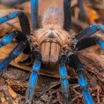 This Tarantula Became a Scientific Celebrity. Was It Poached From the Wild?
