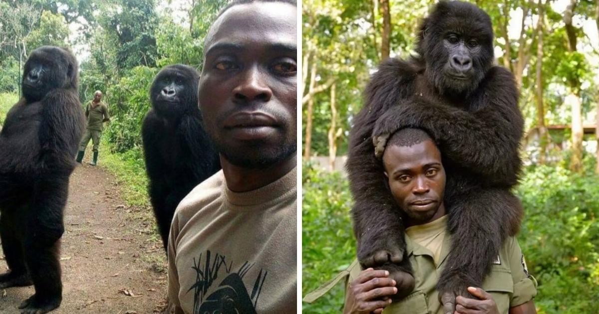 Фото на память: две гориллы из Конго научились позировать с людьми