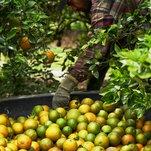 Citrus Farmers Facing Deadly Bacteria Turn to Antibiotics, Alarming Health Officials