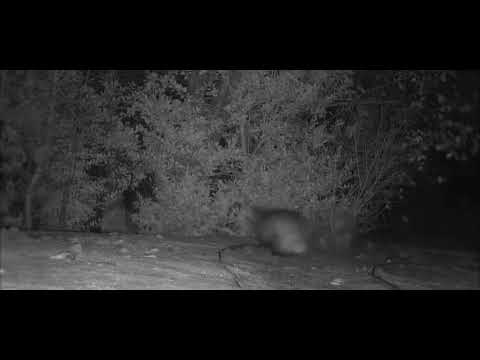 Photo of Comical Nighttime Chase Between Fox And Badger Captured