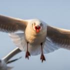 Новые данные: чайки в Австралии переносят опасные инфекции
