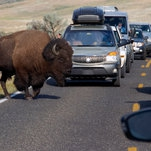 Yellowstone Bison, Crowded by Tourists, Throws Girl in Video