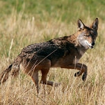 Photo of Trump Administration Reauthorizes Use of 'Cyanide Bombs' to Kill Wild Animals