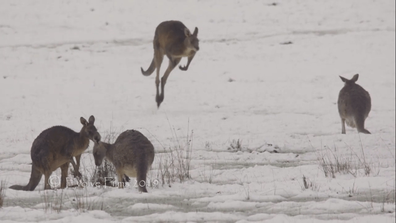 Photo of Kangaroos Hopping Around In Snow Prove The World's Gone Crazy: 10 GIFS and Images