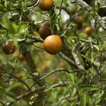 Spraying Antibiotics to Fight Citrus Scourge Doesn't Help, Study Finds