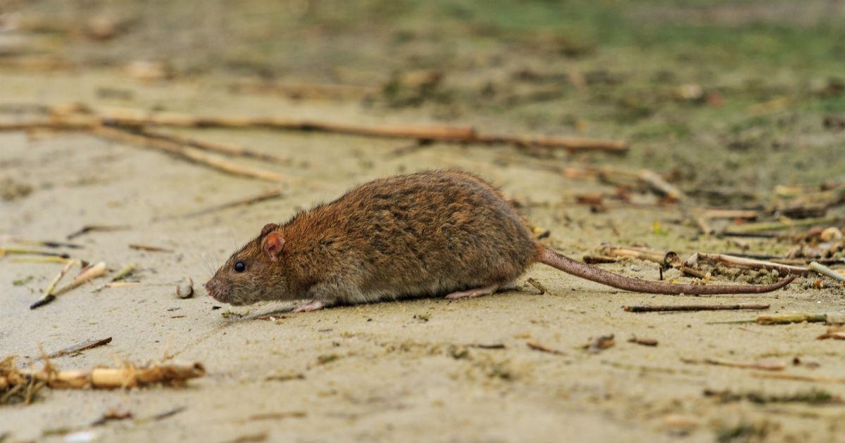 Какие болезни переносят мыши, чем от них можно заразиться