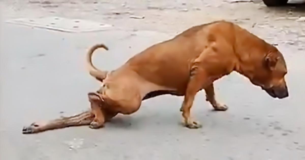 Умный пес научился клянчить еду, притворяясь хромым