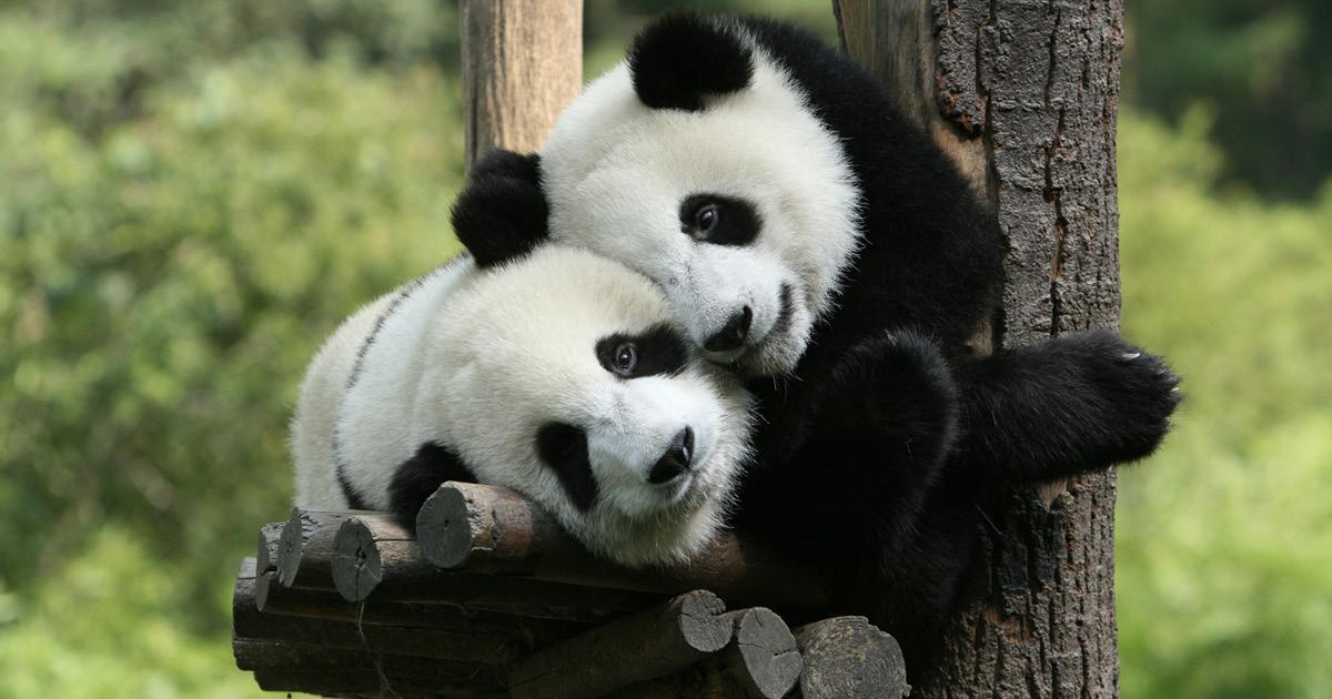 """Фото """"Непростая задача"""". В Китае готовится программа по клонированию панд"""