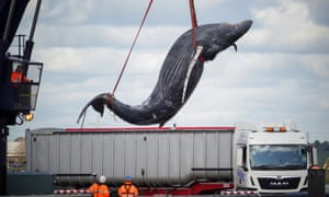 Humpback whale found dead in Thames was hit by a ship