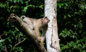 Shock and gnaw: rat-eating macaques 'stun' scientists