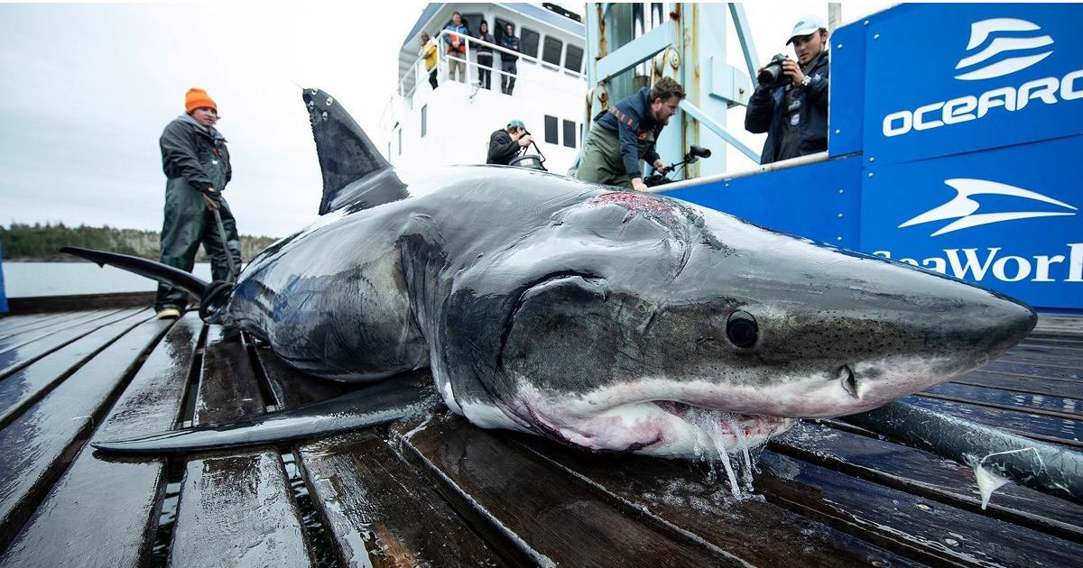 Фото В США выловили огромную акулу с укусами гигантского существа