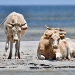 3 Cows Swept Out to Sea by Hurricane Dorian Are Found Alive