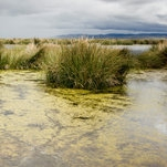 How Did Plants Conquer Land? These Humble Algae Hold Clues