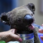 Photo of Saving the Fire Victims Who Cannot Flee: Australia's Koalas
