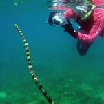 Studying Sea Snakes? Time to Call the 'Fantastic Grandmothers'