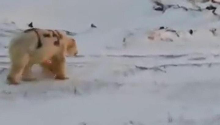 """Фото """"Деды воевали"""": на Чукотке написали """"Т-34"""" на боку белого медведя"""
